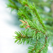 Photo: Fir tree branches, christmas decoration.