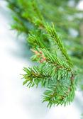 ветви деревьев пихты, рождественские украшения. — Стоковое фото