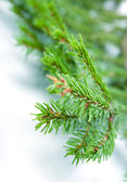 モミの木の枝、クリスマスの装飾. — ストック写真
