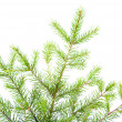 Green fir branches .close up — Stock Photo #2923962
