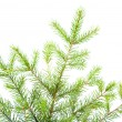 Green fir branches .close up — Stock Photo