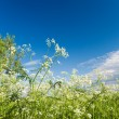 Stock Photo: Apiaceae (Umbelliferae).