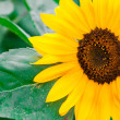 Sunflower a background. — Foto de Stock