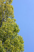 Leaves on a poplar — Stock Photo