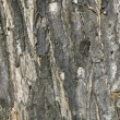 Stock Photo: Background of a wooden bark