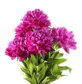 Şakayık çiçeği — Stok fotoğraf