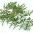 Branch of a thuja — Stock Photo