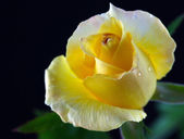 Rose oregold — Stock Photo