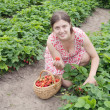 Girl picking strawberry in the field — Stock Photo