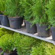 Stock Photo: Bargain sale of conifers trees