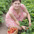 Girl picking strawberry in the field — Stock Photo #3107841