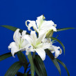 White lily on blue — Stock Photo #3406465