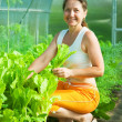 Woman picking lettuce — Stock Photo