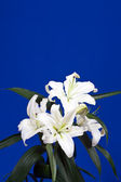 White lily on blue background — Stock Photo