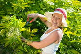 Senior woman cutting cornus — Stock Photo