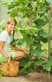 Girl is picking cucumber — Stock Photo