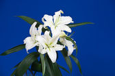 Close up white lily — Stock Photo