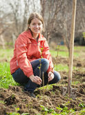 Woman resetting raspberry sprouts — Stock Photo
