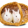 White rabbits in basket — Stock Photo #3814560