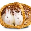 White rabbits in basket — Stock Photo