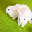 Two white rabbits — Stock Photo