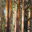 Pine tree forest — Stock Photo #3816799