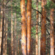 Pine tree forest — Stock Photo