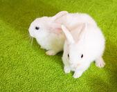Two white rabbits — Stock Photo