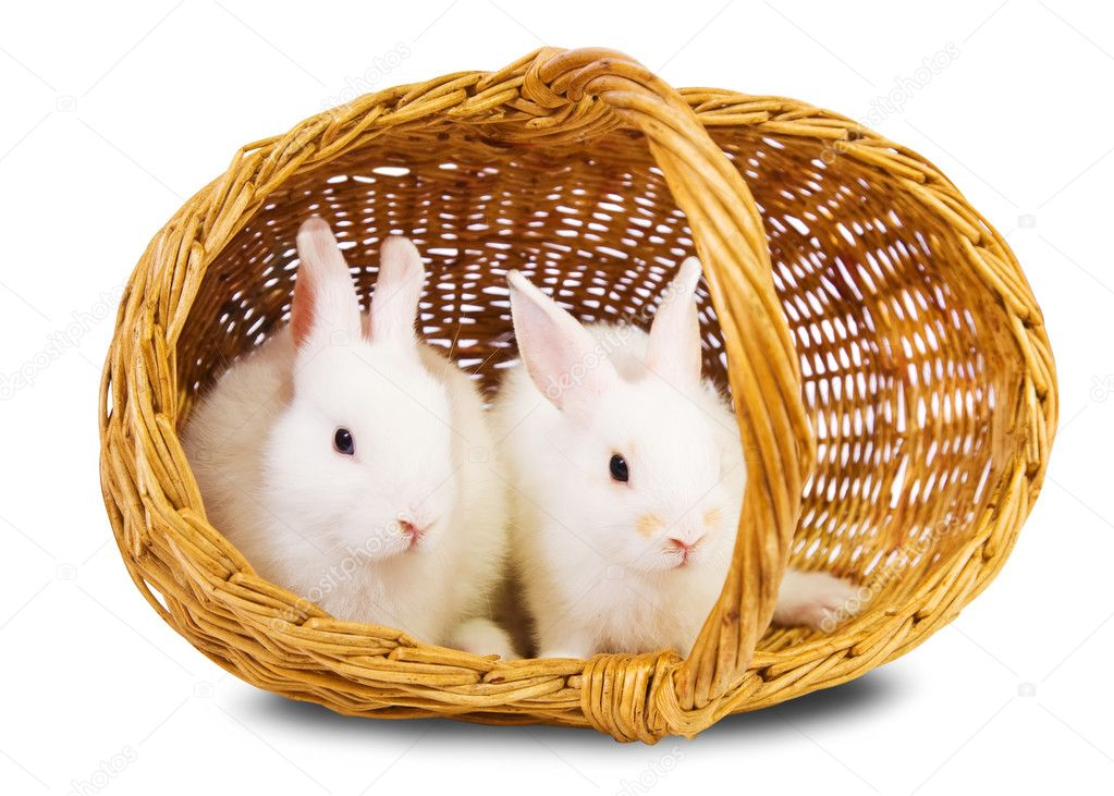 Two white rabbits in basket. Isolated on white background   Stock Photo #3814560