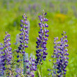 Wild lupine in summer — Stock Photo