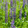 Violet wild lupine — Stock Photo #3833531