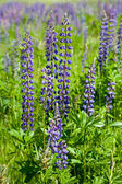 Violet wild lupine — Stock Photo