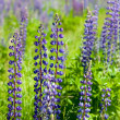 Plant of violet wild lupine - Stock Photo