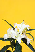 Lily on yellow — Stock Photo