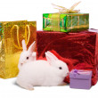 Wo white rabbits with gifts - Stock Photo