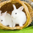 White rabbits in basket — Foto Stock