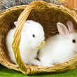 White rabbits in basket — Stock Photo #4101581