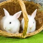 Rabbits in basket — Stock Photo