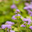 Ageratum — Stock Photo