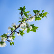Stock Photo: Spring cherry tree in blossom