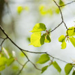 Spring linden tree leaves — Stock Photo