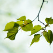 Fresh green leaves of tilia — Stock Photo