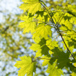 Maple leaves, brightly backlit — Stock Photo