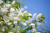 Branch of bird cherry — Stock Photo