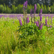 Stock Photo: Lupine on green meadow