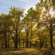 Oak grove in autumn — Stock Photo