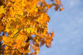 Autumn leaves of oak — Stock Photo