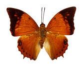 Tawny rajah motyl — Zdjęcie stockowe