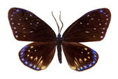Zigzag Flat butterfly — Stock Photo