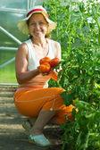Woman is picking tomato — Stock Photo